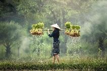 Laos-Frau-pflanzt-Reis